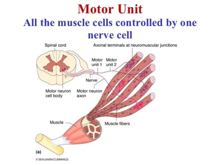 Motor Unit Anatomy Gallery Human Anatomy Diagram Organs