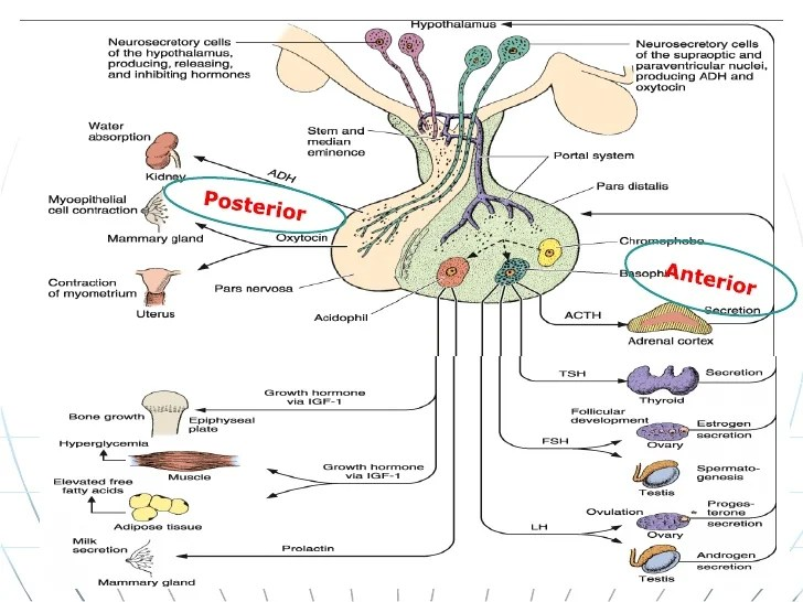 endocrine hormones chart - Erkaljonathandedecker