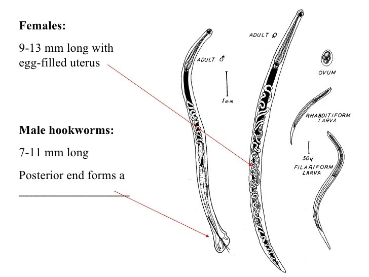 ancylostoma duodenale diagram