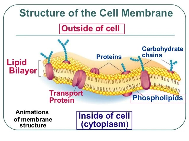 function of cell membrane - Kubrakubkireklamowe
