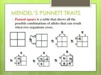 Mendel Punnett Square | www.imgkid.com - The Image Kid Has It!