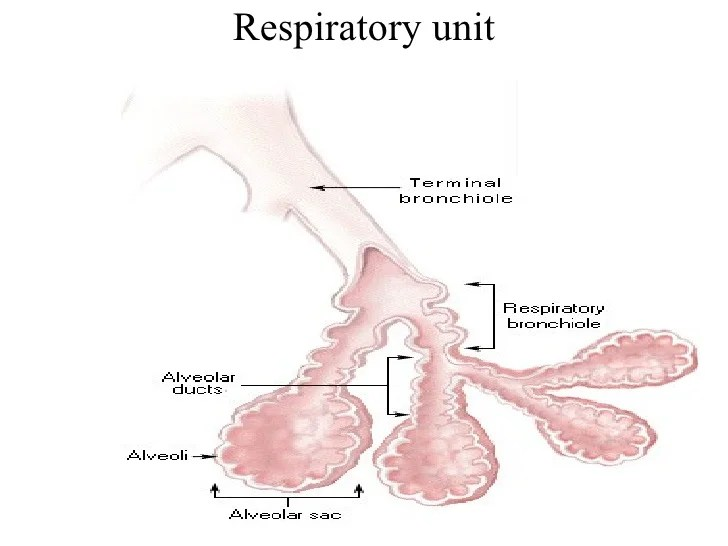 respiratory-system-2-728 Dr Bali