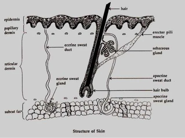 diagram of apocrine gland