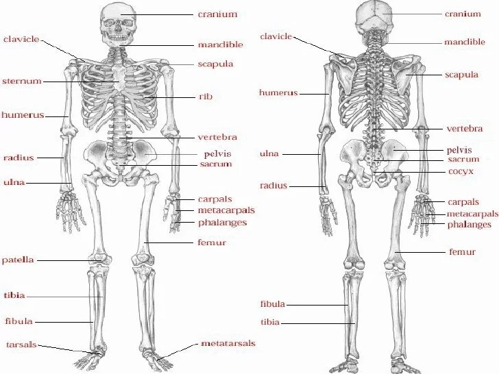 human body diagram 555 human body diagram