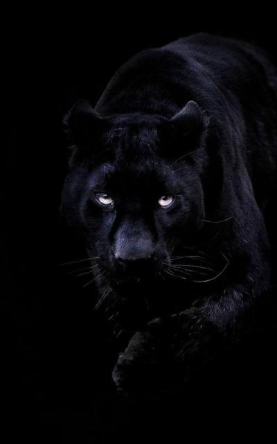 Black Panther Live Wallpaper APK Download - Free Personalization APP for Android | APKPure.com