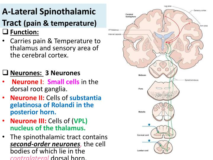 PPT - Ascending Tracts of the Spinal cord PowerPoint Presentation - spinothalamic tract