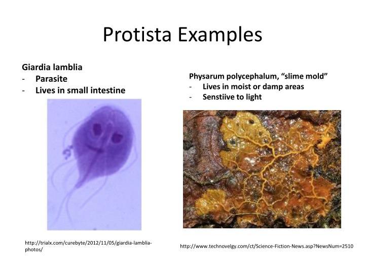 PPT - Kingdoms PowerPoint Presentation - ID1919594 - protista examples