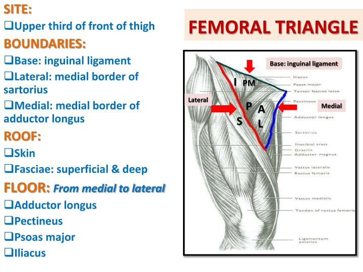 PPT - ANTERIOR amp; MEDIAL COMPARTMENTS OF THIGH PowerPoint - femoral triangle