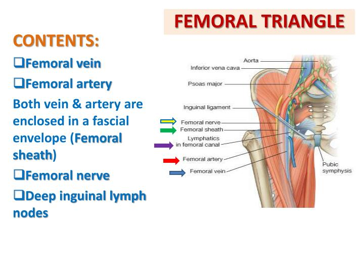 Contemporary Anatomy Femoral Triangle Images - Anatomy And ...