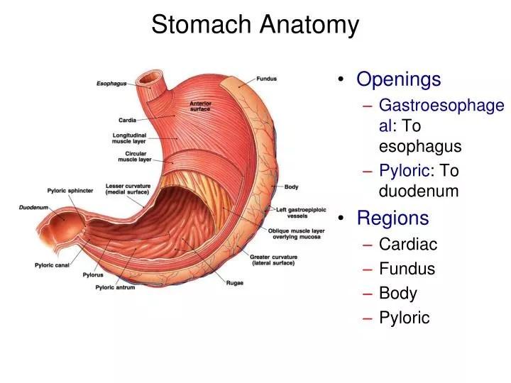 PPT - Stomach Anatomy PowerPoint Presentation - ID1940155