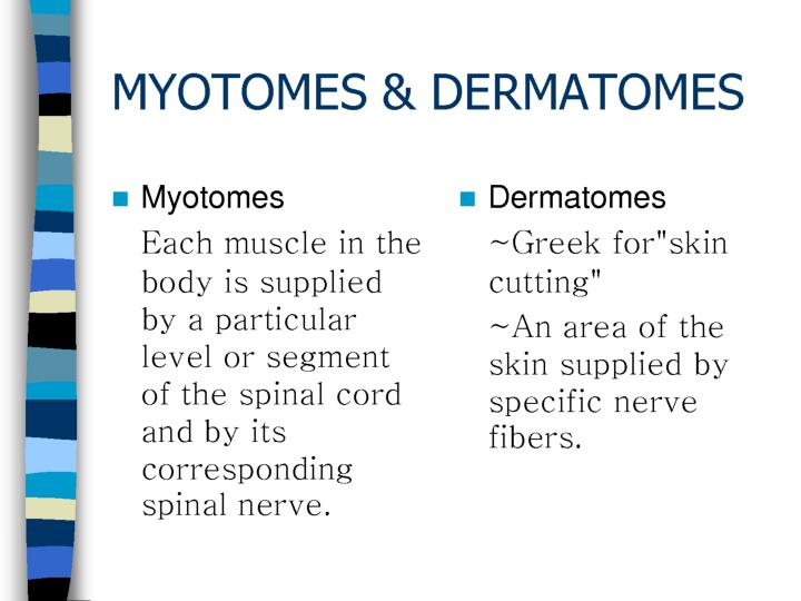 PPT - Dermatomes and Myotomes PowerPoint Presentation - ID2000500