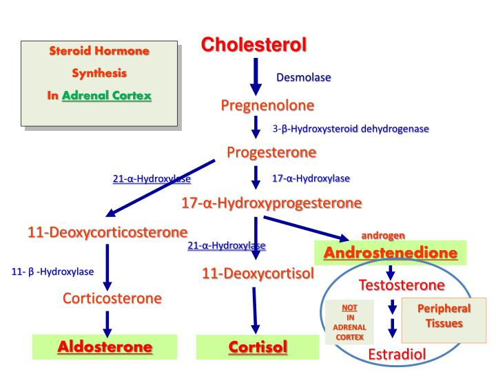 Ppt Steroid Hormone Synthesis In Adrenal Cortex