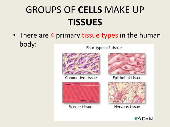 PPT - SPECIALIZED CELLS PowerPoint Presentation - ID2526138