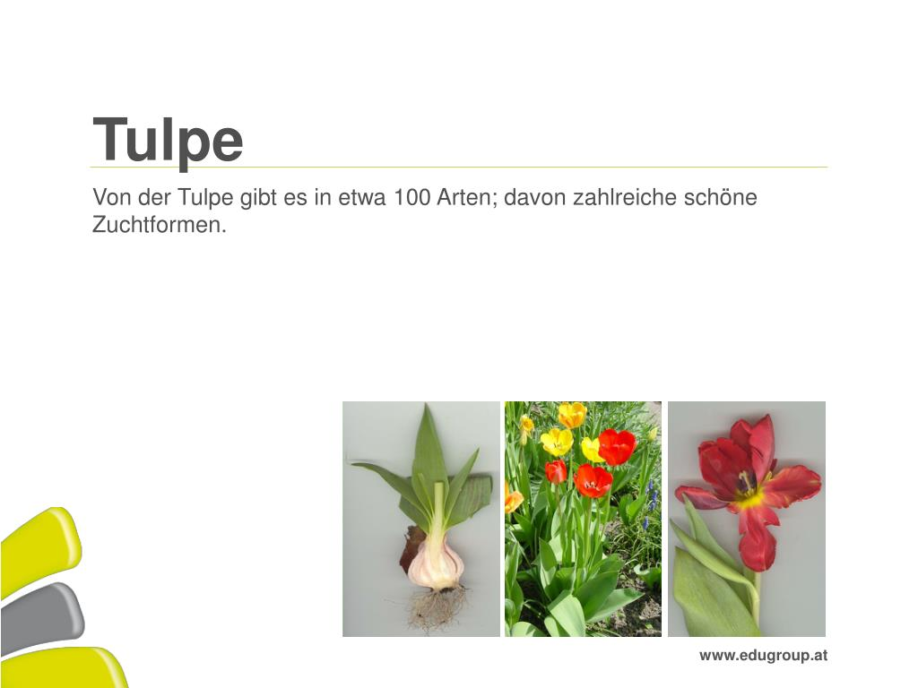 Ppt Tulpe Powerpoint Presentation Free Download Id 3047144