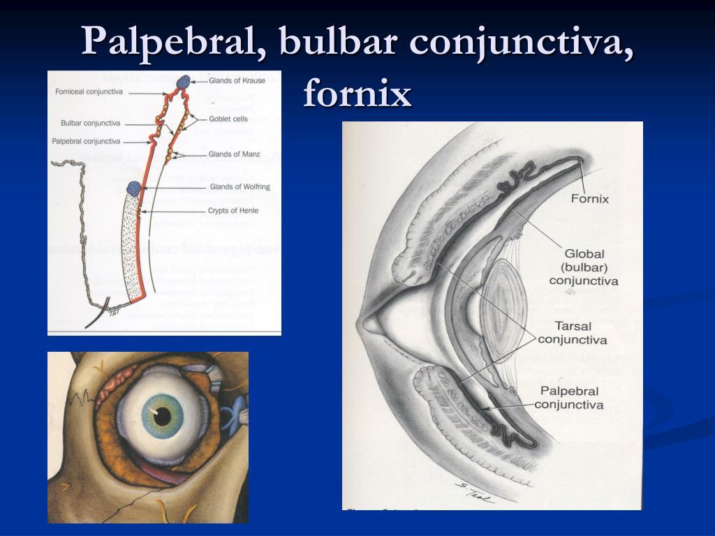 bulbar conjunctiva