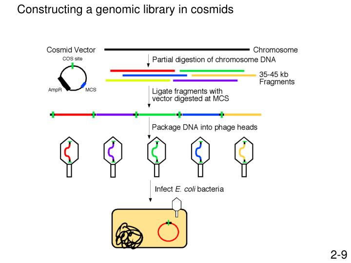 PPT - Construction and analysis of a genomic DNA library PowerPoint