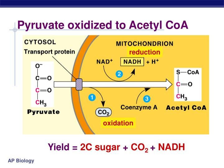 PPT - Chapter 9 Cellular Respiration Oxidation of Pyruvate Krebs