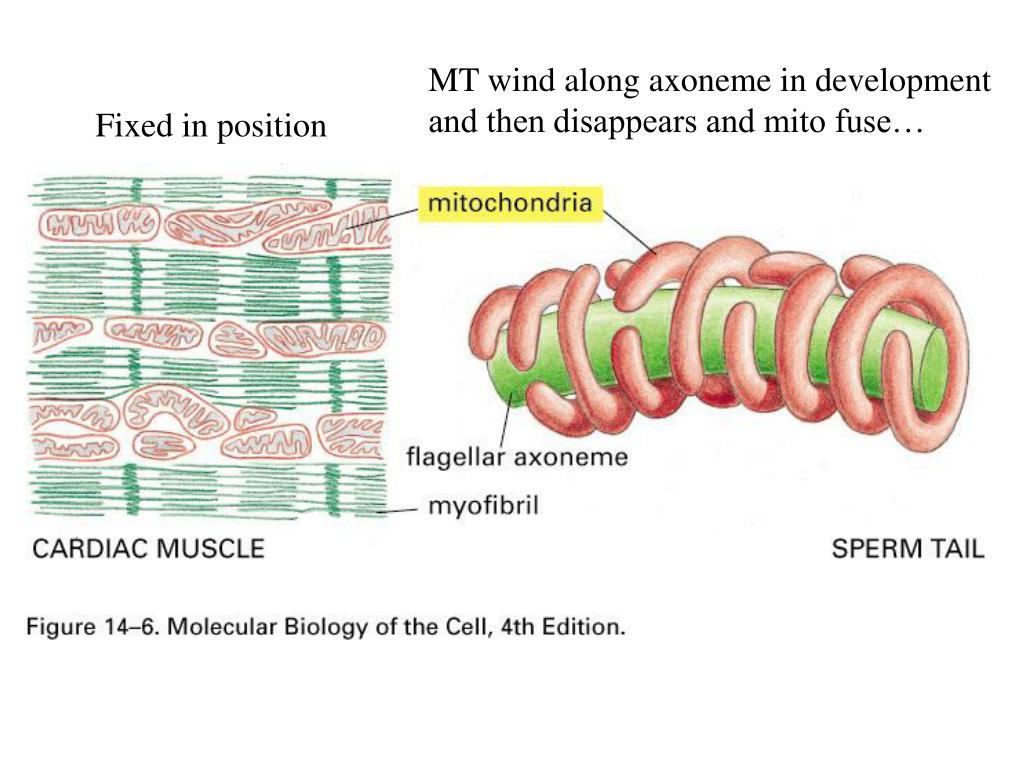 what if the mitochondria disappears