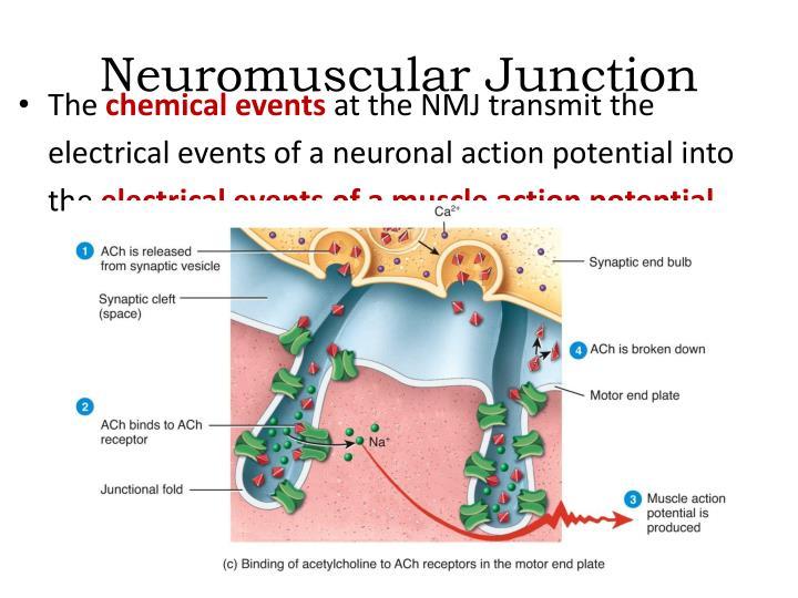 PPT - Neuromuscular Junction PowerPoint Presentation - ID4691814 - neuromuscular junction