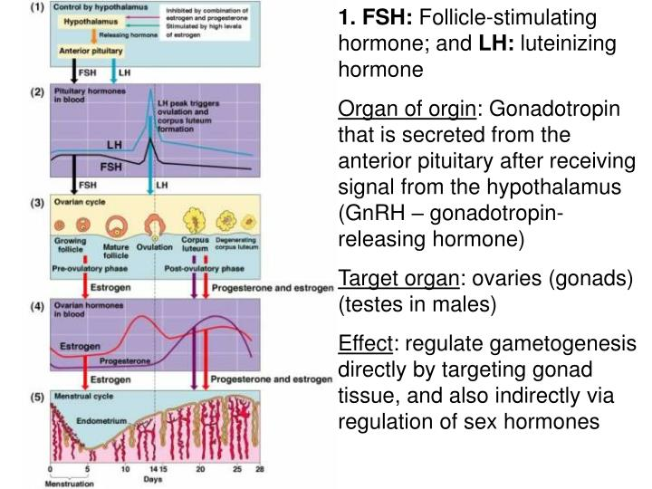 PPT - 1 FSH Follicle-stimulating hormone; and LH luteinizing