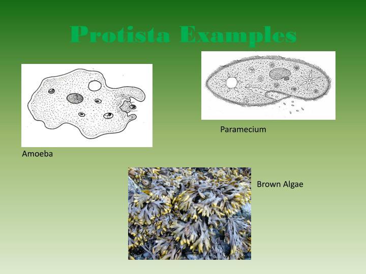 PPT - Protista Kingdom PowerPoint Presentation - ID5165790 - protista examples