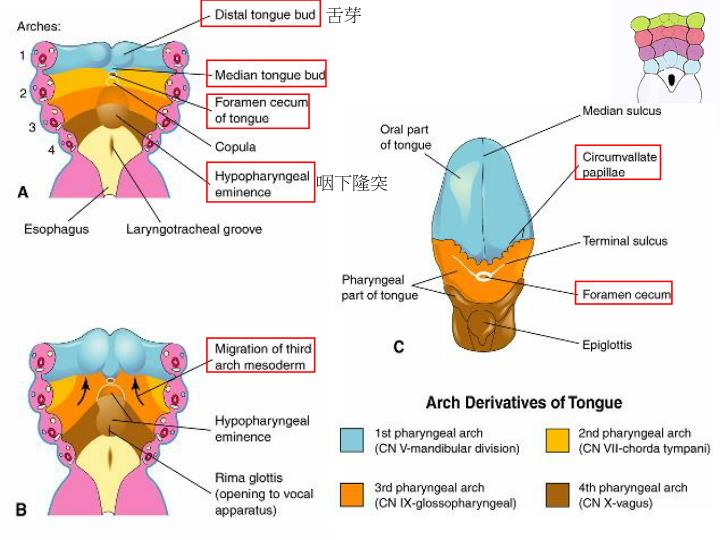PPT - The Pharyngeal Apparatus \u2013 face, nasal cavities, mouth
