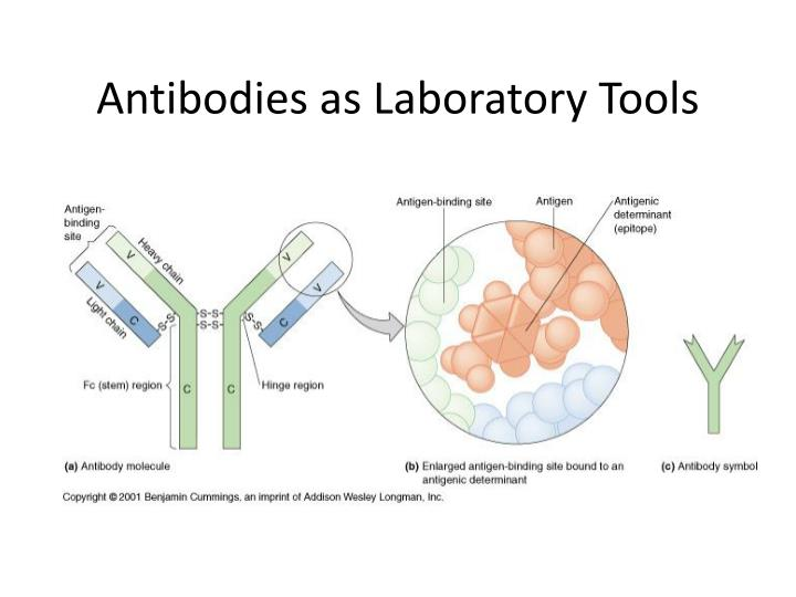 PPT - Antibodies as Laboratory Tools PowerPoint Presentation - ID