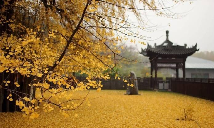 Chinese ginkgo tree7