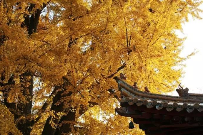 Chinese ginkgo tree890