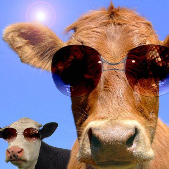 Animal Wallpaper Images Imagenes De Vacas Graciosas