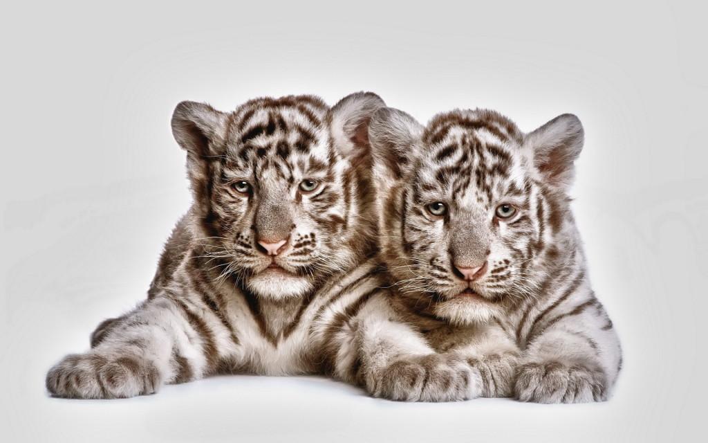 Cute Tiger Cubs Wallpapers Im 225 Genes De Tigres Blancos Para Whatsapp Fondos