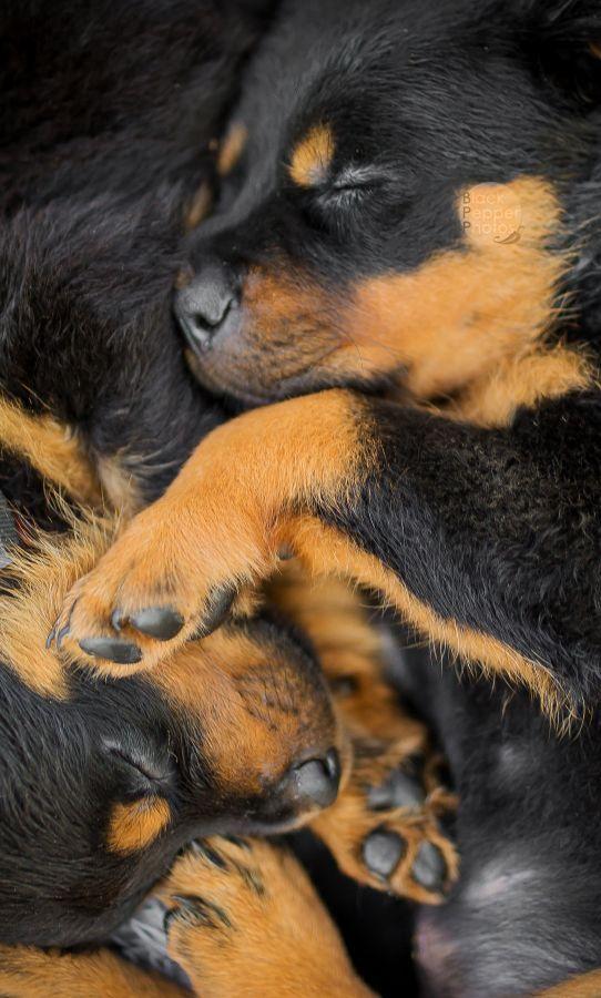 Cute Puppies Images Wallpapers Im 225 Genes De Perros Rottweiler Fondos Wallpappers Portadas