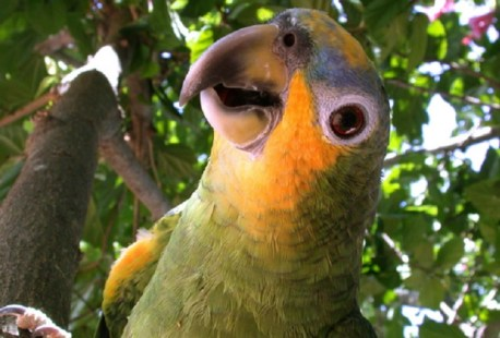 Atenção: Esse não é o papagaio X9. A imagem é somente ilustrativa. Foto: FreeImages