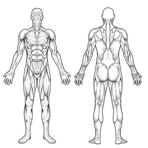 illustration graphics contest full body muscle diagram for