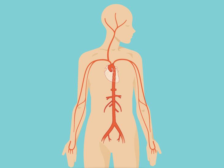 Inguinal Lymph Nodes Anatomy, Diagram  Function Body Maps