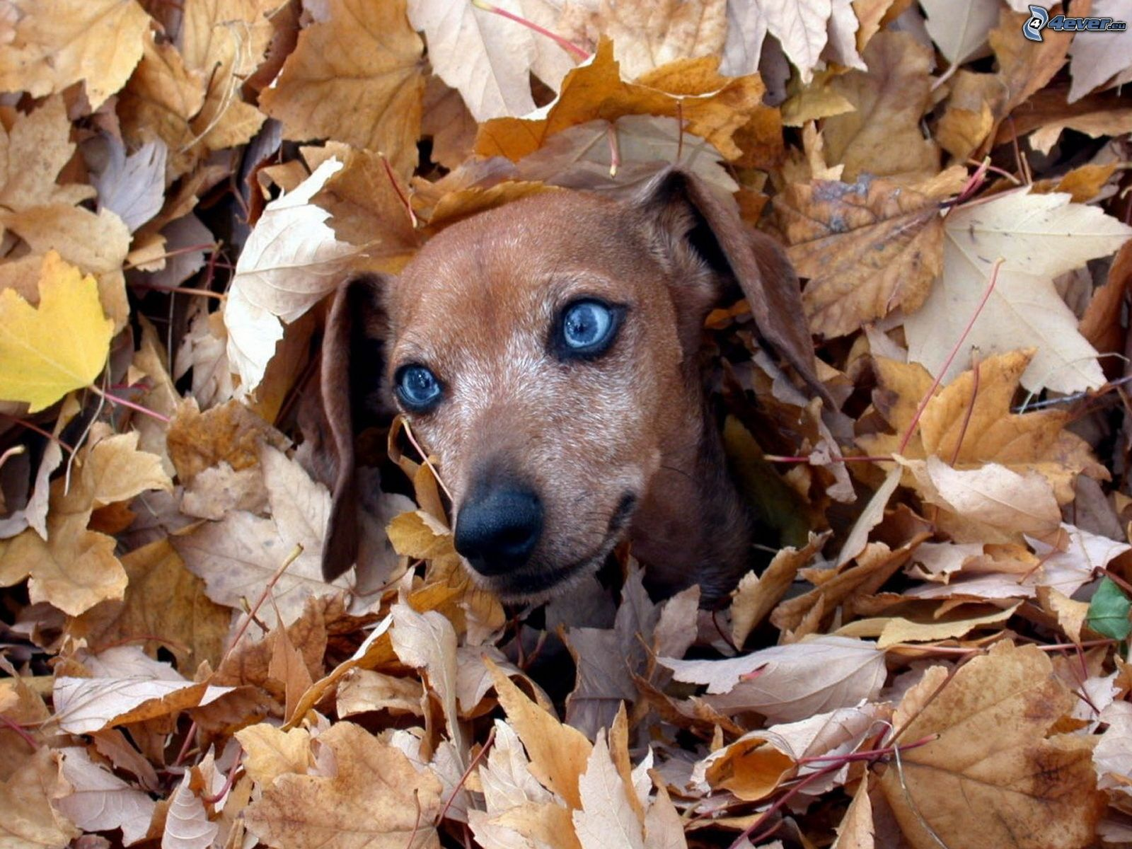 Fall Wallpaper Dog Weenie Teckel