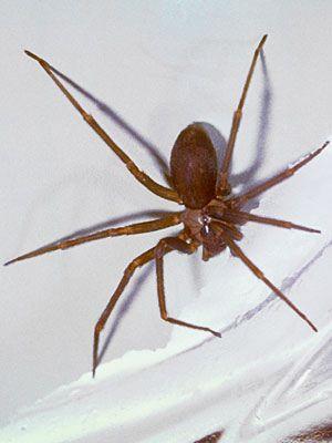 Common Spider Bite Symptoms Household, Wolf Spider Everyday Health