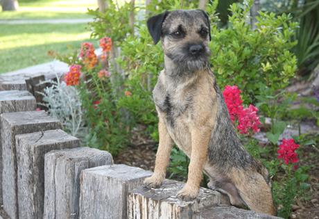 Image For Border Terrier Dog Breed Information Akc Org