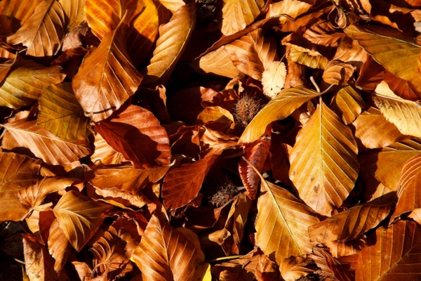 Autumn Fall Leaf Car Wallpaper Brown Beech Leaves Free Stock Photos In Jpeg Jpg