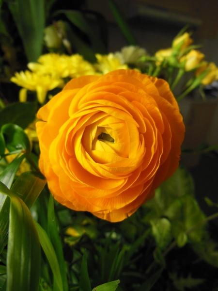 Fire And Water Hd Wallpapers Flowers Ranunculus Orange Ranunculus Free Stock Photos In