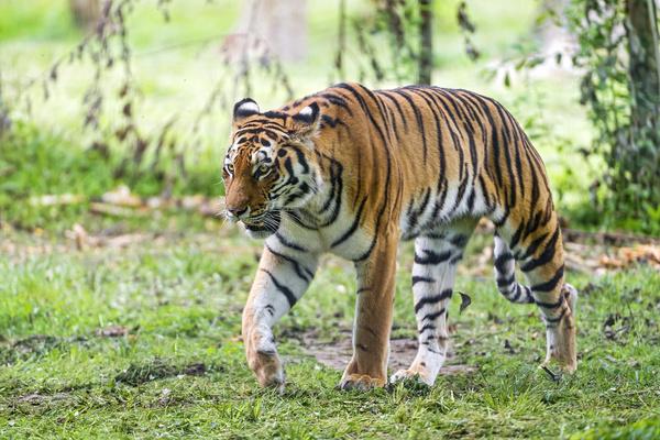 Cute Baby Pets Live Wallpaper Download Tiger Free Stock Photos Download 160 Free Stock Photos