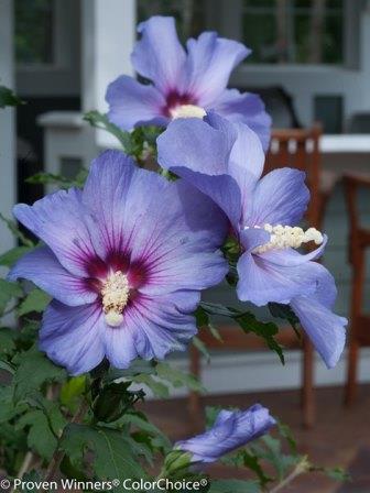 Azurri Blue Satin® Althea, Rose of Sharon - Blue Flowers or Flower
