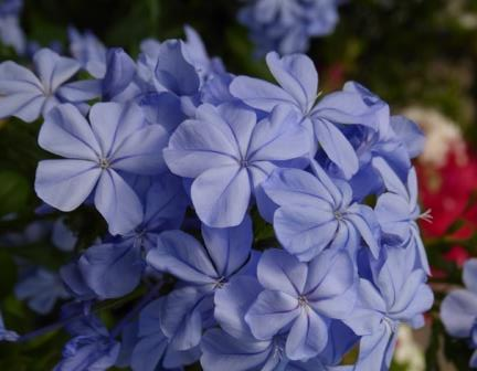 Imperial Blue Plumbago, Cape Leadwort - Tropical Plants - Almost Eden