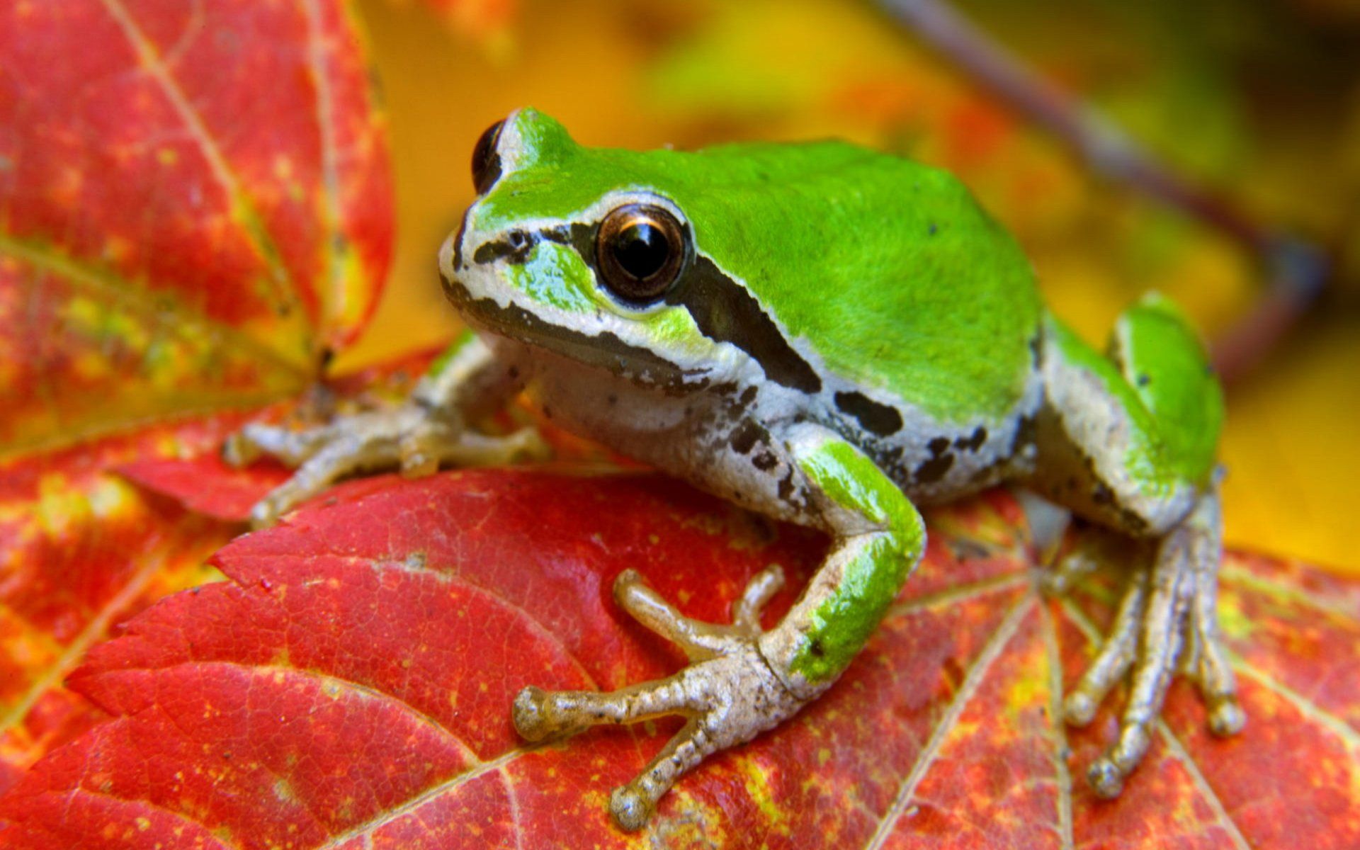 Fall Iphone Wallpaper Pinterest Frog Hd Wallpaper Background Image 2560x1600 Id