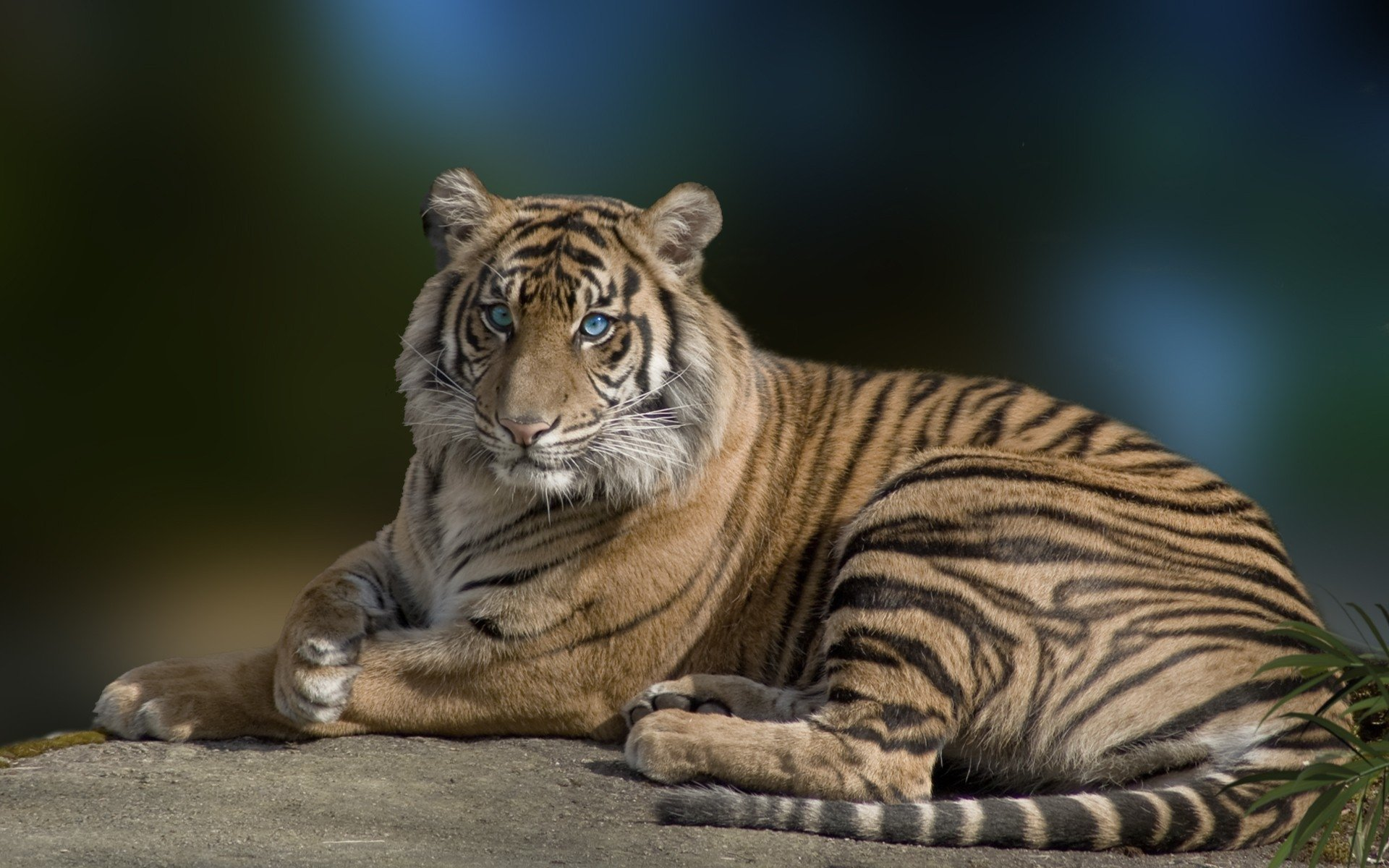 Cute Attitude Girl Wallpaper Download Tiger With Blue Eyes Full Hd Wallpaper And Background
