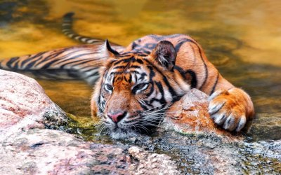 Sumatran Tiger Cooling Off HD Wallpaper | Background Image | 1920x1200 | ID:543447 - Wallpaper Abyss