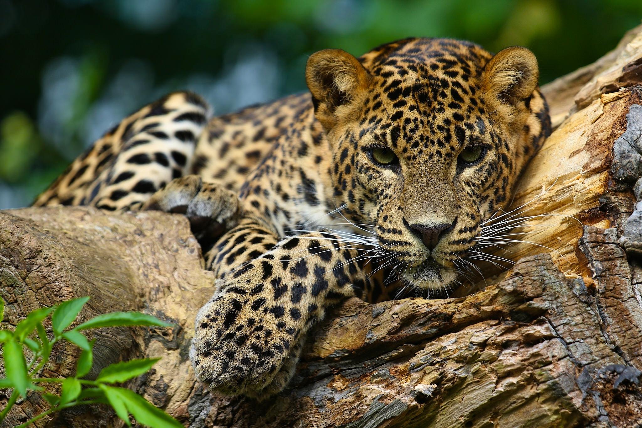 Cheetah Wallpaper Hd Jaguar Full Hd Fond D 233 Cran And Arri 232 Re Plan 2048x1365