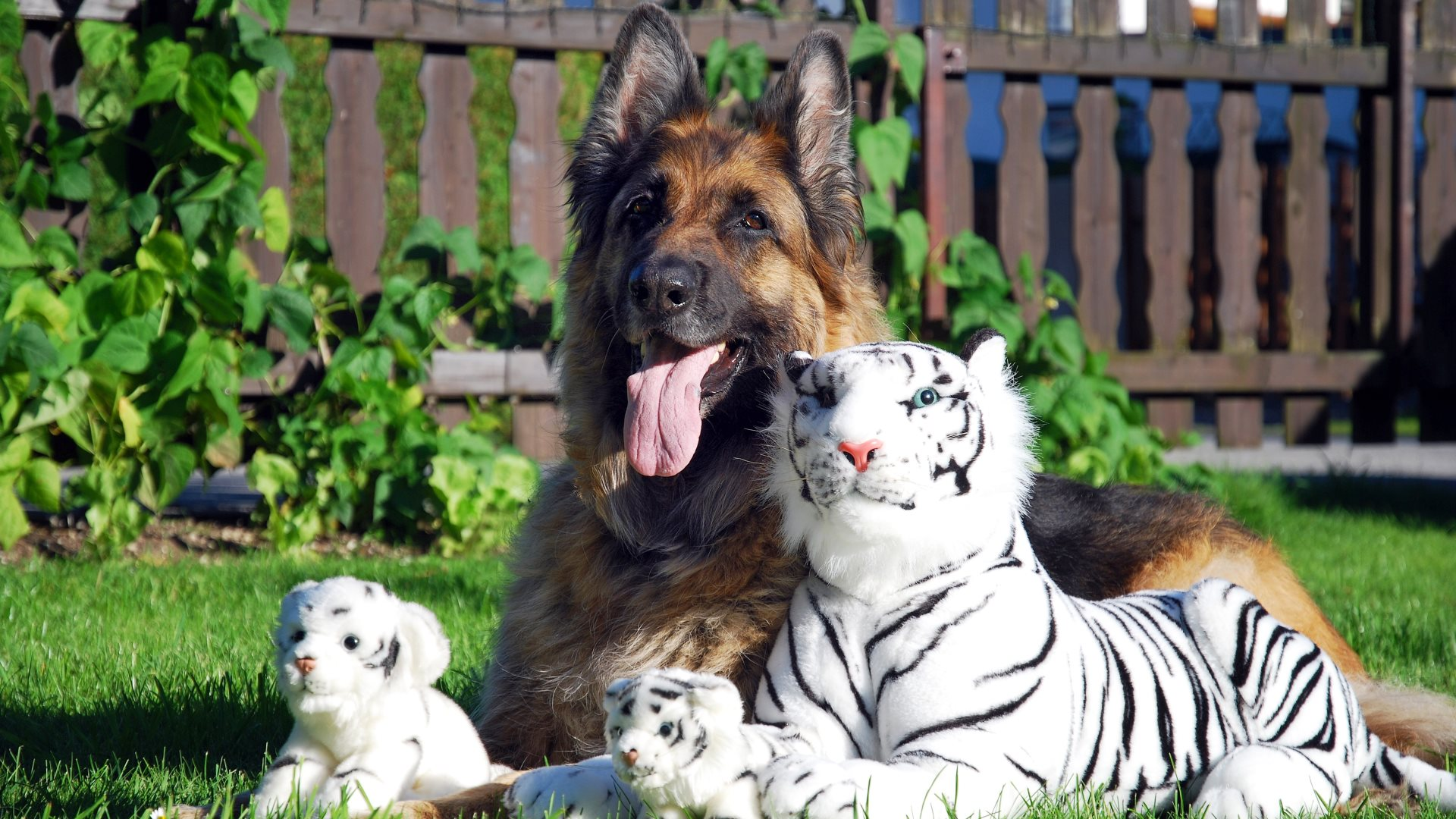 Cute Bengal Wallpapers Hd 1366x768 A Long Haired German Shepherd With White Tiger Stuffed