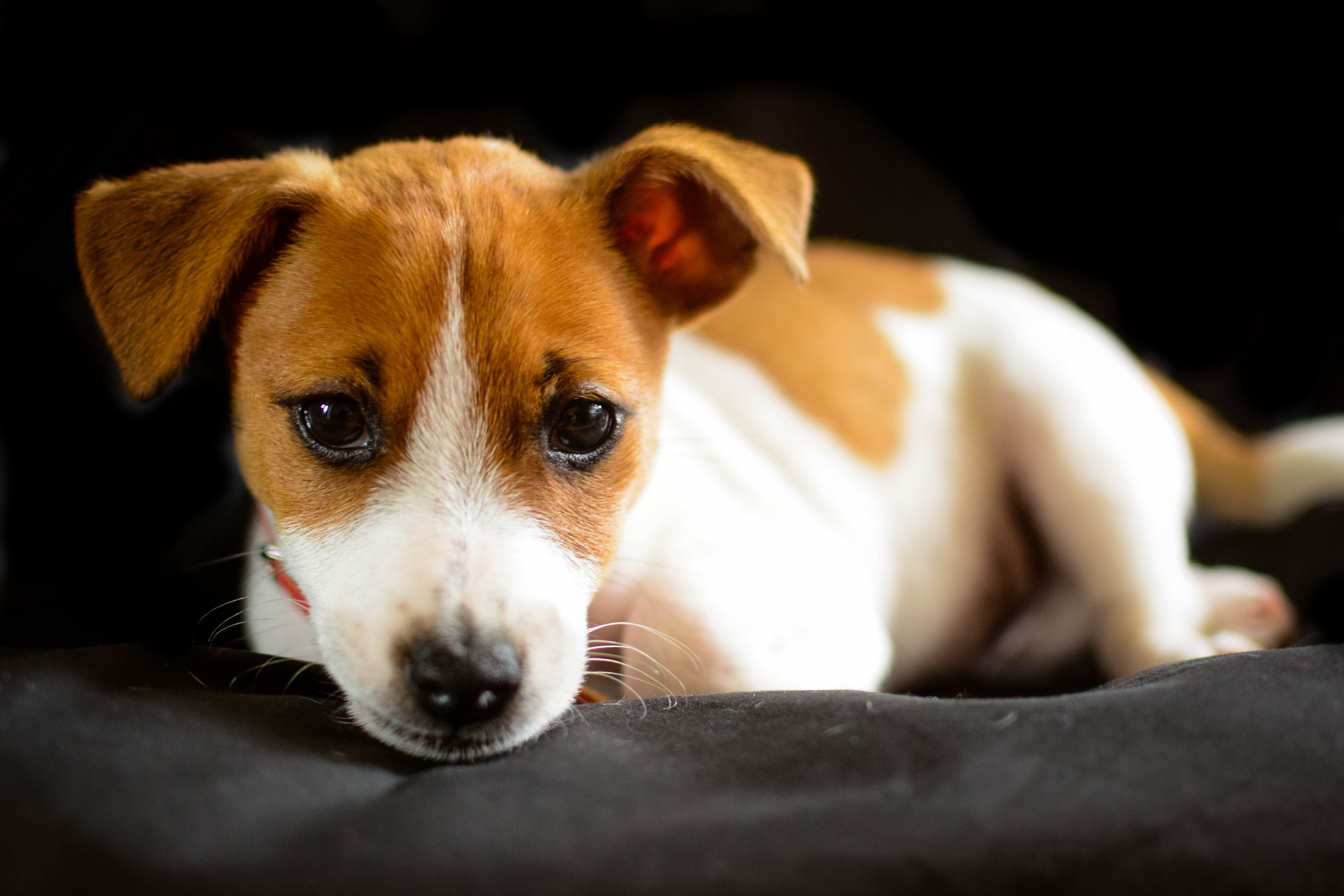 Cute Puppies Wallpapers For Mobile Jack Russell Terrier Hd Wallpaper Background Image