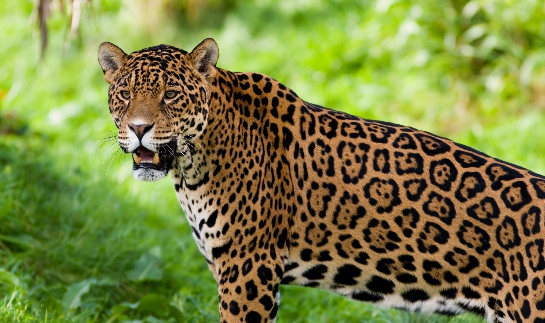 diagram of a jaguar animal